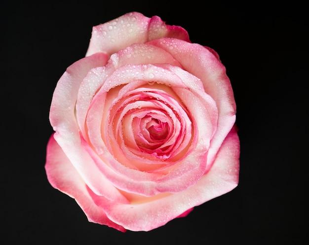 咲くピンクのバラのクローズアップ