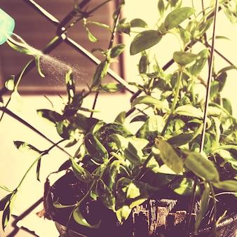 Утренний солнечный день, поливающий комнатное растение у себя дома