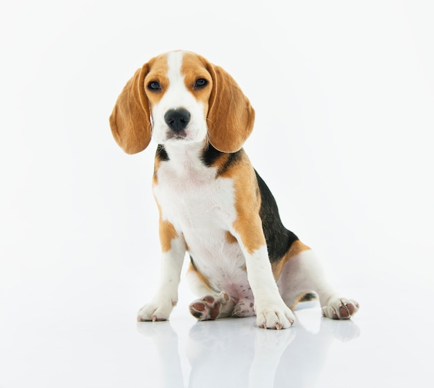 Бигл собака сидит с белым фоном