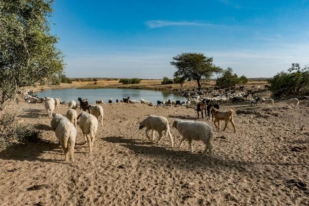 インドでの羊の群れ
