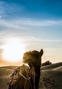 インドラージャスターン州のタール砂漠のキャメル