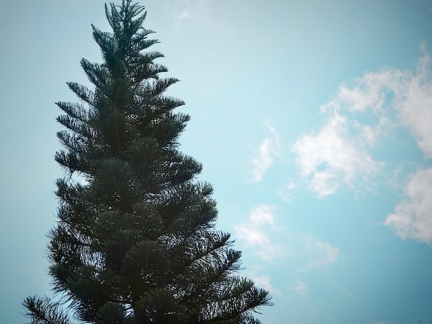 青い空の背景の松