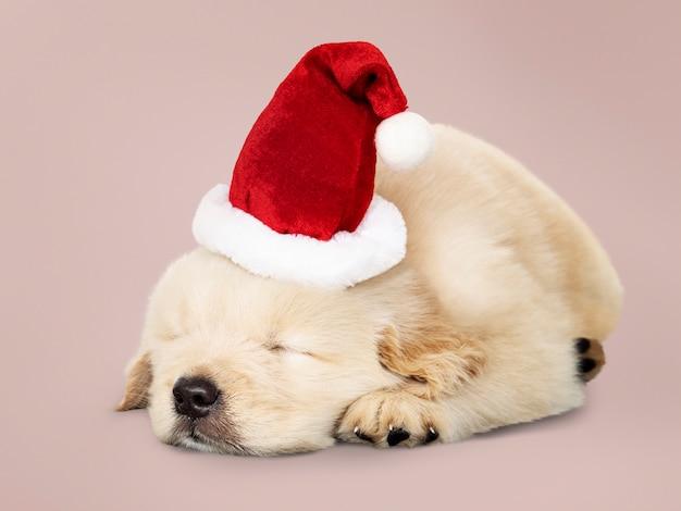愛らしいゴールデンレトリーバーの子犬は、サンタの帽子をかけて寝ている