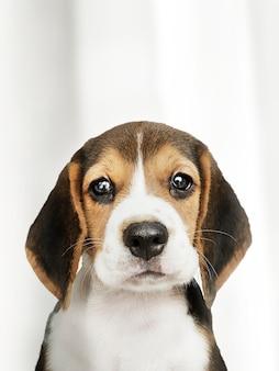 愛らしいビーグル犬のソロの肖像