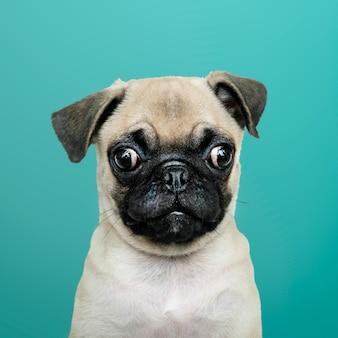 Очаровательный сольный портрет щенка-мопса