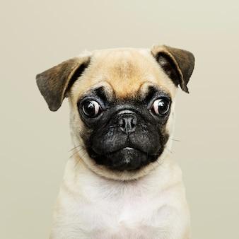 愛らしいパグの子犬のソロの肖像