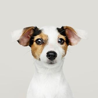 Очаровательный портрет щенка джек рассела ретривера