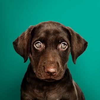 可愛いチョコレートラブラドールレトリーバー肖像画
