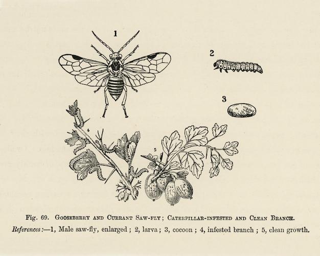 果物の栽培者のガイド:キャタピラーが蔓延し、きれいなブランコ、カラントのヴィンテージイラスト