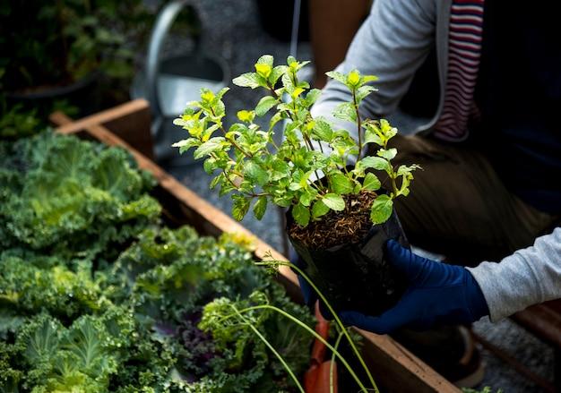 新鮮な有機農業ミントを植える手