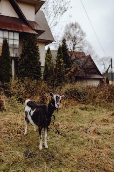 黒と白のヤギのフィールドで放牧