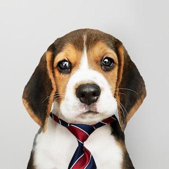 ネクタイを着てビジネスビーグル子犬