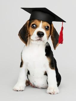 Милый щенок бигля в выпускной кепке