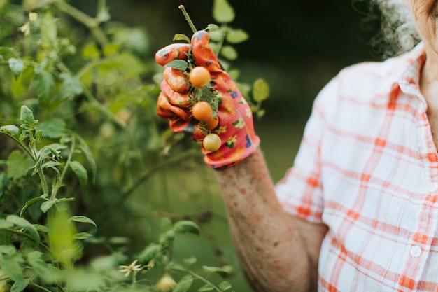 Пожилая женщина собирает свежие помидоры черри из своего сада