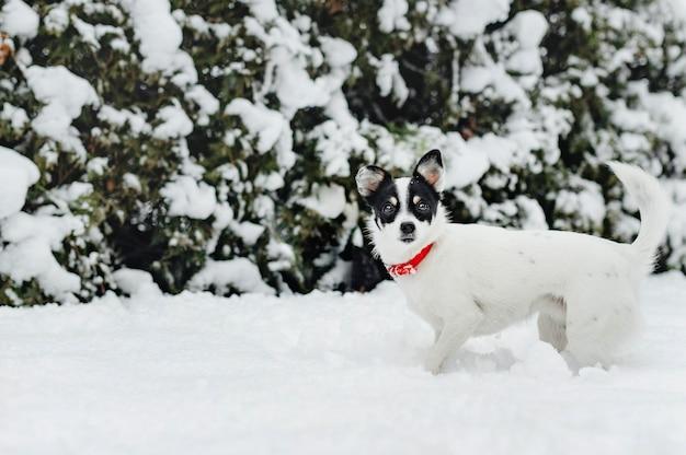雪の中でジャックラッセル犬
