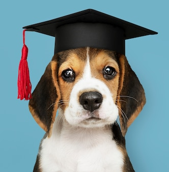 卒業の帽子でかわいいビーグル子犬