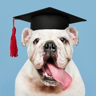 Милый белый щенок английского бульдога в выпускной кепке