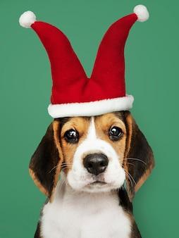 道化師の帽子でかわいいビーグル子犬