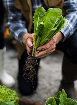 新鮮な有機農業のレタスを選ぶ手