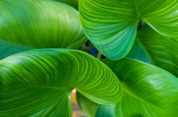 美しい象の耳やコロカシアの植物の背景
