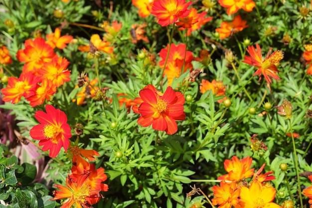 庭の赤とオレンジのコスモスの花