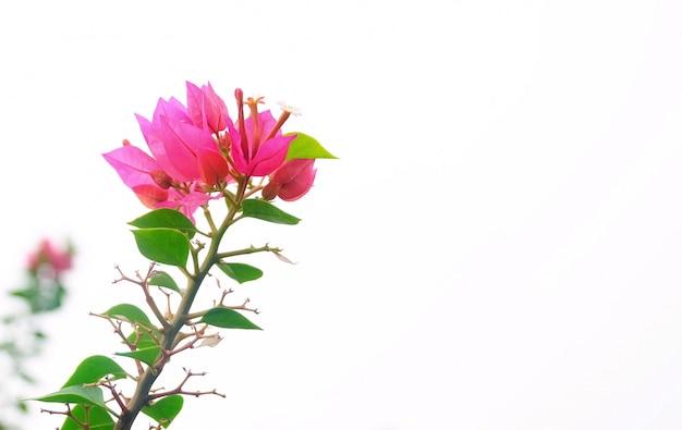 ピンクのブーゲンビリアの花や庭の紙の花
