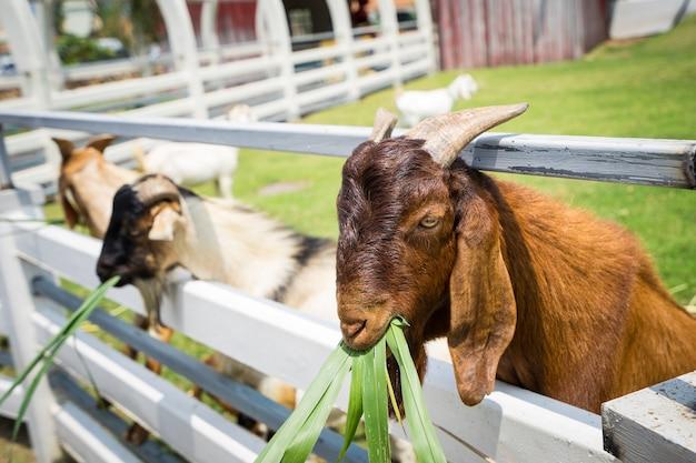 動物園で草を食べるヤギのクローズアップ