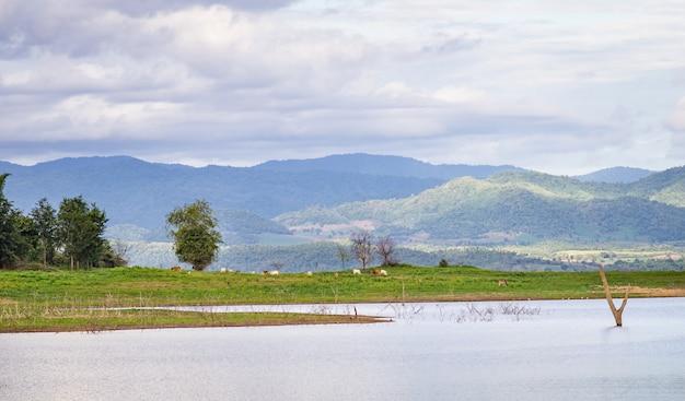 湖と山の緑の牧草地で放牧牛