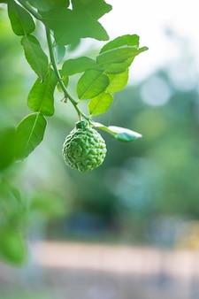 ライトボケ背景の木のベルガモットの果実
