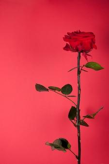 赤の背景に美しい赤いバラ
