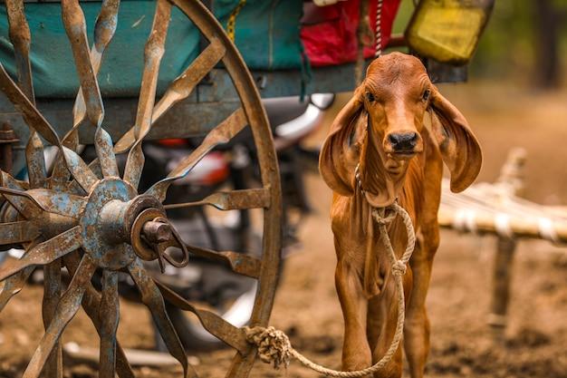 農業分野での赤ちゃん牛