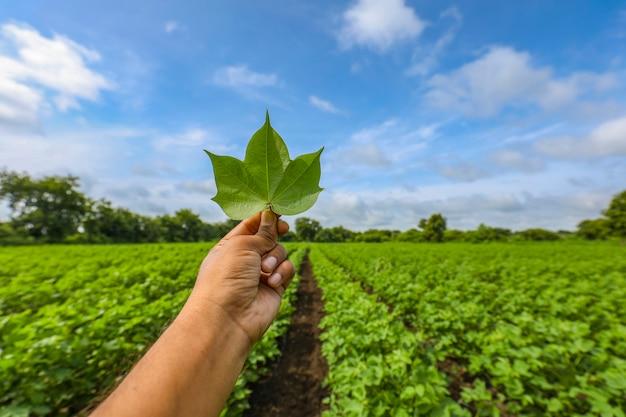 綿畑に美しい緑の綿の葉を持っている手