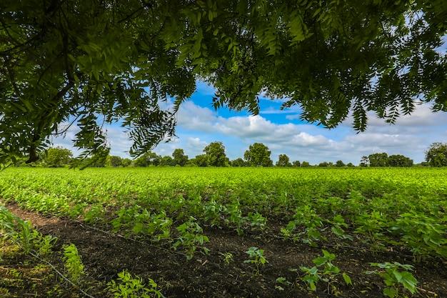 インドで成長している緑の綿畑の行。