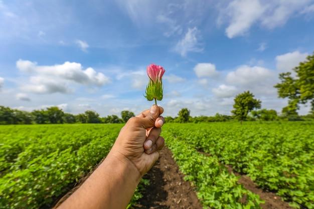 綿畑に美しいピンクの綿の花を持っている手