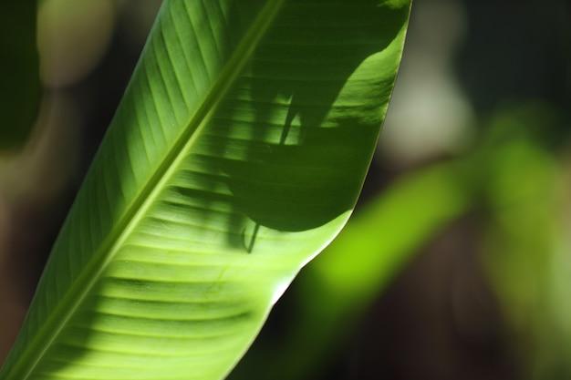 Банановый лист