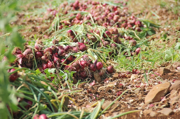 農場で地面にタマネギ