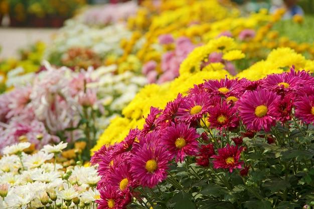 Красочная группа хризантем