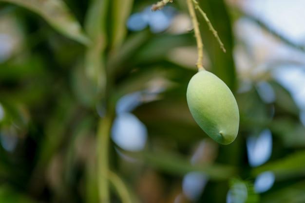 新鮮なグリーンマンゴー