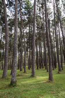 春の緑の草と日差しの美しい松林。