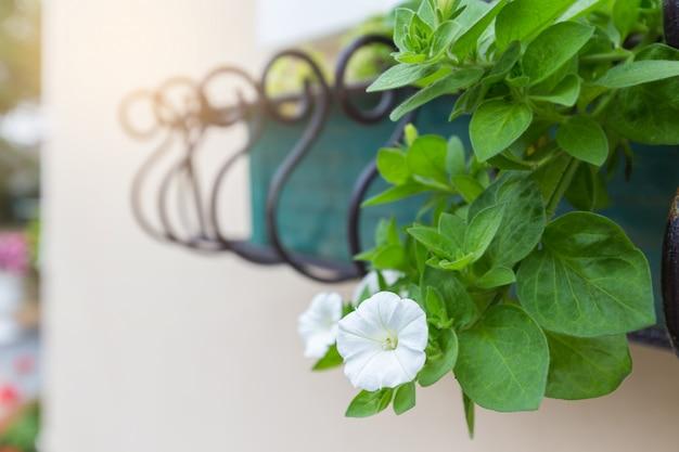 Белые цветы петунии с зелеными листьями украшают здание.