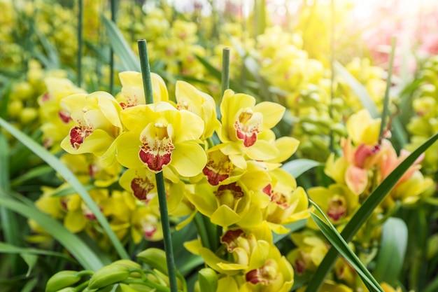 黄色のシンビジウム蘭には、装飾的な花の穂があります。