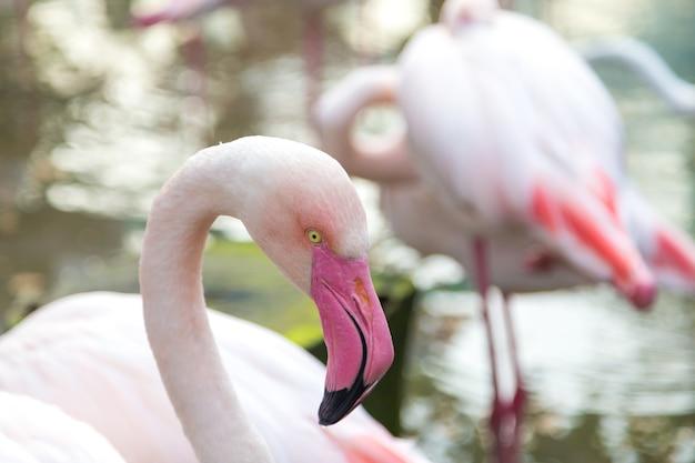 Закройте фламинго с шеей, опираясь на его тело