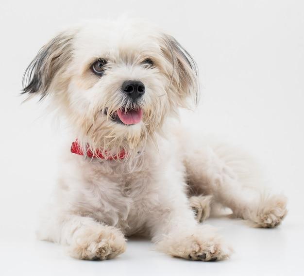 白い背景の上のマルタ犬の子犬犬