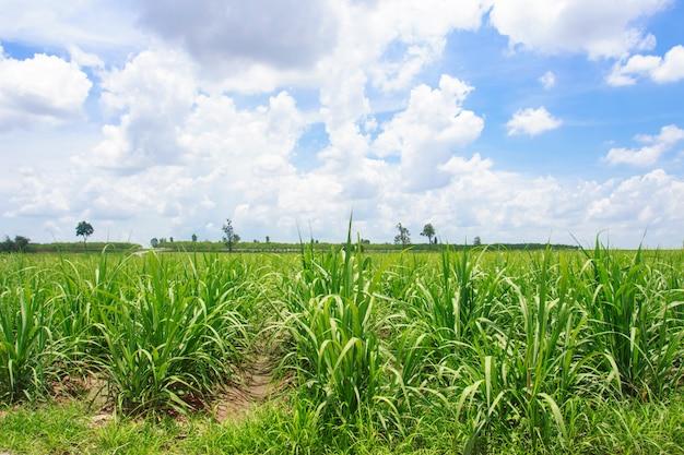 タイの青い空のサトウキビ畑