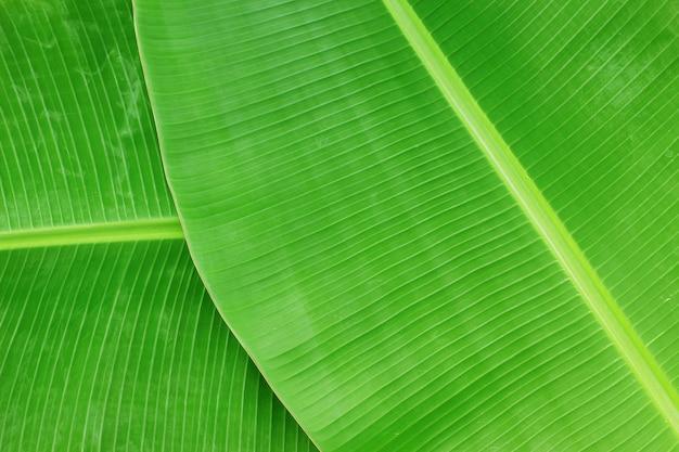 バナナの葉の質感の抽象的な背景のクローズアップ