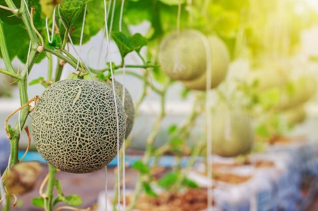 Японская канталупа дынная ферма