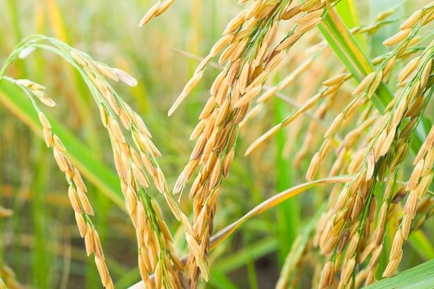 タイで収穫を待っている緑の米。水田