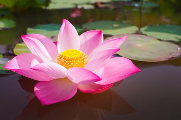 背景の自然の中の美しいピンクの蓮の花