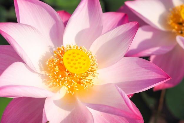 背景に日の出と自然の中で美しいピンクの蓮の花