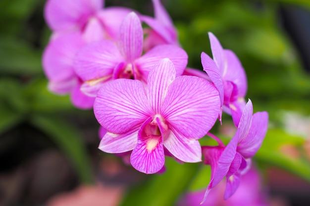 背景をぼかした写真の冬または春の日に庭で美しいピンクの蘭の花